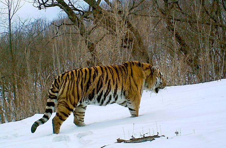 Tiger4_副本_副本_副本.jpg
